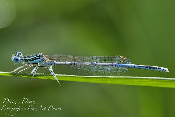 Blaue Federlibelle (Platycnemis pennipes)