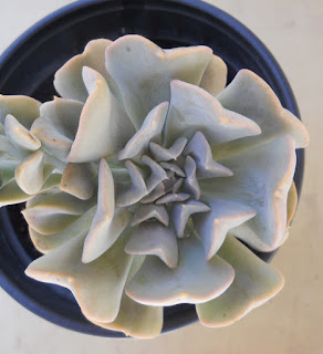 Echeveria runyonii Texas Rose