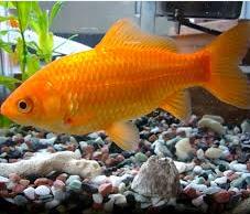 ikan hias, Jenis Ikan Koki Common