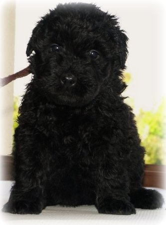 Bouvier des Flandres Puppies Images | Puppies Pictures Online