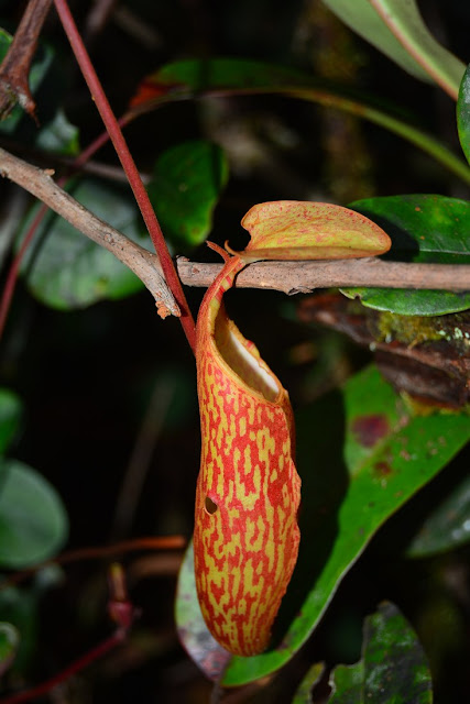 Nepenthes macrfarlanei