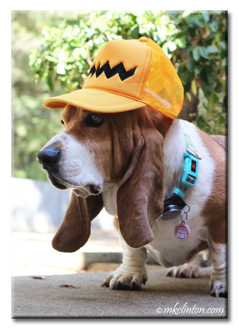 Bentley Basset Hound with Charlie Brown baseball cap.