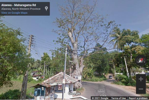 Paramaulla Geta Kumbuk Tree
