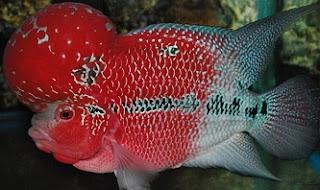 cara memelihara ikan louhan agar cepat jenong,cara budidaya ikan louhan di akuarium,cara merawat telur ikan louhan,cara merawat ikan louhan yang masih kecil,cara memelihara ikan louhan dalam akuarium,