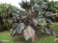 Fan palm tree - Ho'omaluhia Botanical Garden, Kaneohe, HI