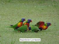 Rainbow Lorikeet (Lake Macquarie, NSW, Australia)