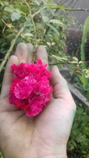 red fairy rose