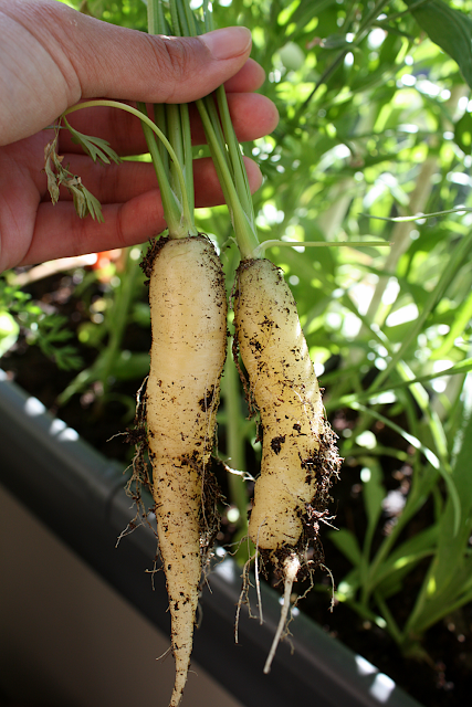 'White satin' carrots - root vegetable in-season produce in September