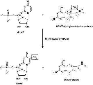 Thymidylate synthesized