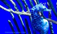 Big-belly seahorse