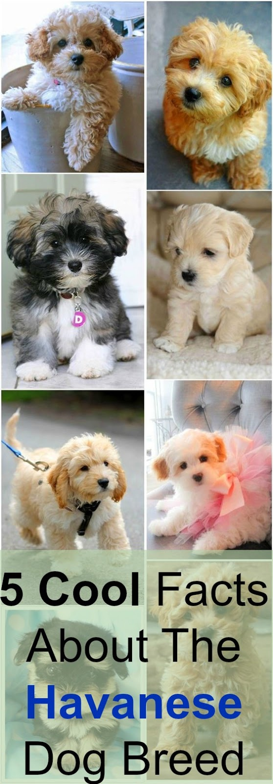 5 Cool Facts About The Havanese Dog Breed