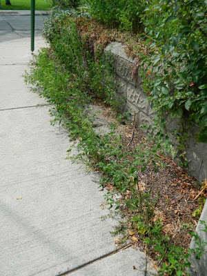 Riverdale Front Garden Cleanup Before by Paul Jung Gardening Services--a Toronto Organic Gardening Company