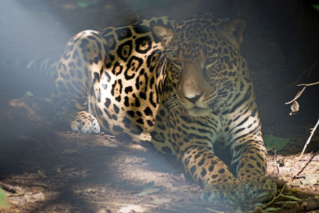 A four year old female Jaguar named Curubanda at Las Pumas wildlife sanctuary in the region of Guanacaste, Costa Rica
