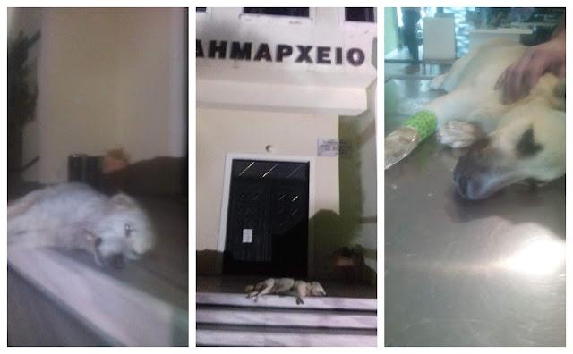 Φιλιάτες: Άφησαν το πτώμα του δηλητηριασμένου σκύλου έξω απ'το δημαρχείο