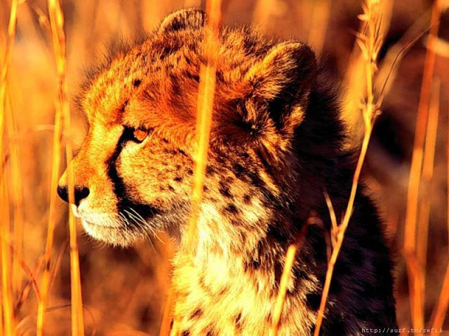 Masai Mara National Park Wild Animals 1 Cheta