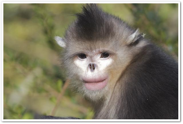 Monyet hidung kemek