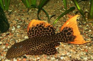 enis Ikan Sapu-sapu Leopard