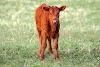 Red Angus Cattle Pros and Cons, Facts, Price