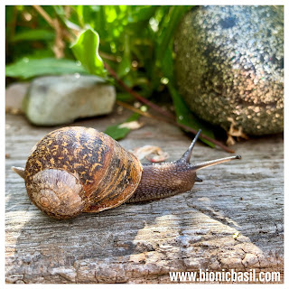 Other Creatures - Snail - @BionicBasil® The Pet Parade