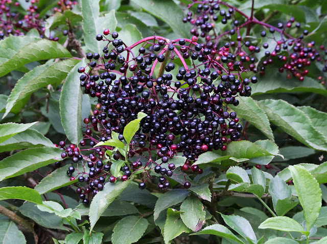 Close up of elderberries