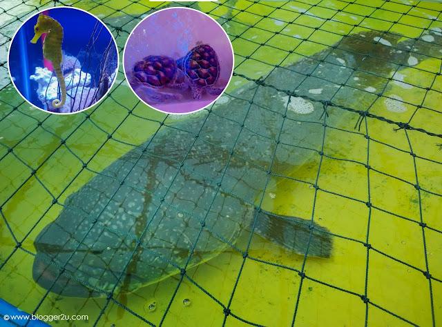 Ikan Kerapu berusia 9 Tahun #myDOF Valley MAHA 2016
