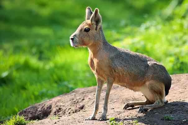 Patagonian Mara - 22 Bizzarre Animals You Probably Didn't Know Exist