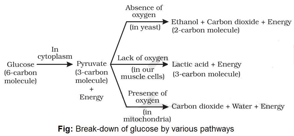 Notes of Ch 6 Life Process Part-II| Class 10th Science - Study Rankers