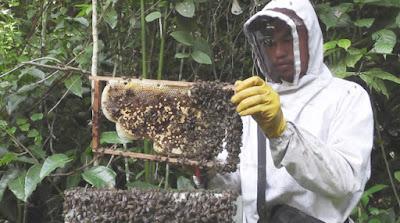 Menangkap Ratu Lebah Madu