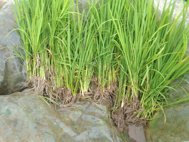 Paddy Saplings 20 days old for Rowing into Fields