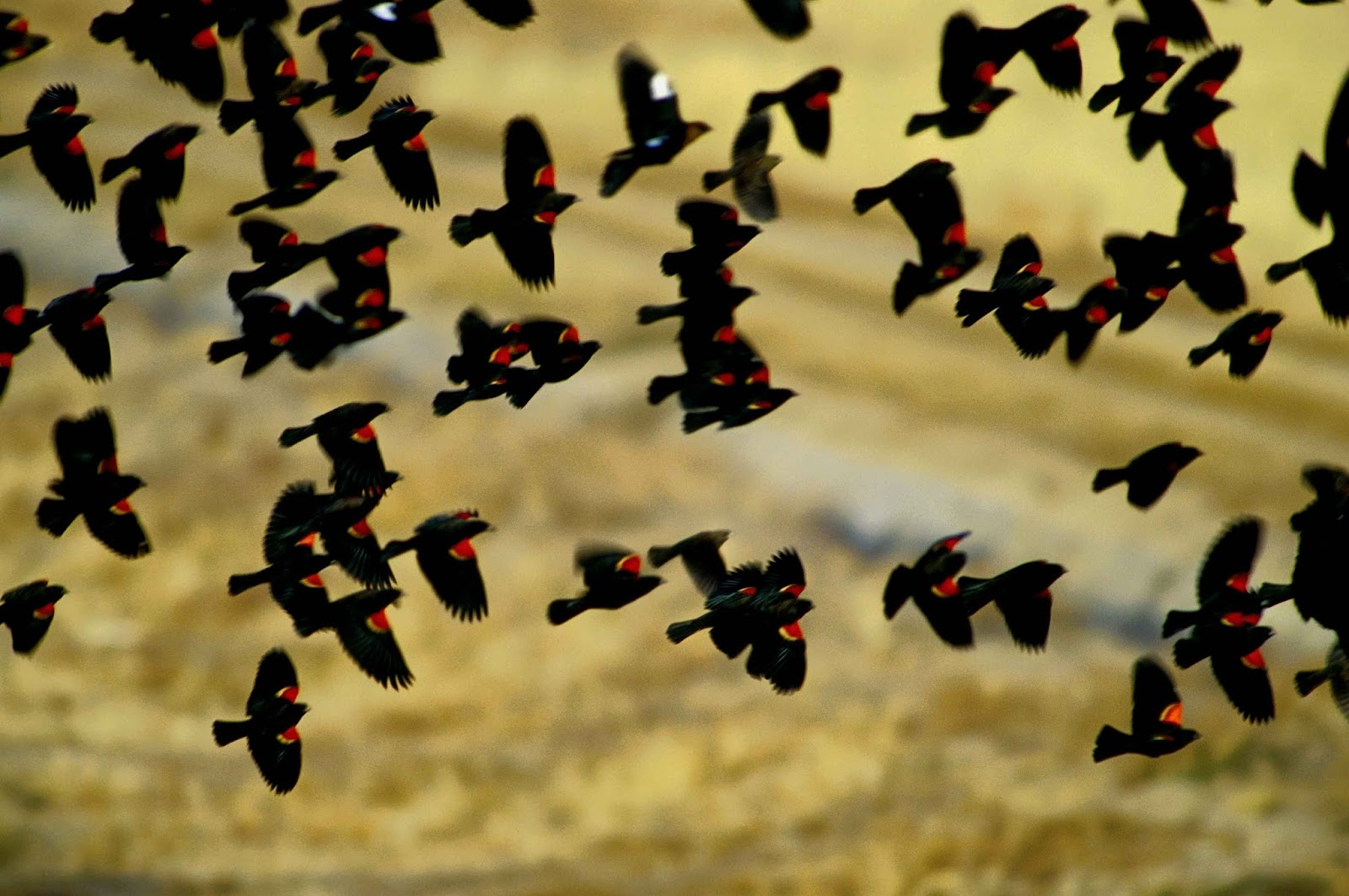 Muse of Hestia: Red Winged Blackbird - Magick, Community and