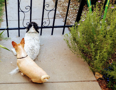 doggies at the courtyard gate looking out