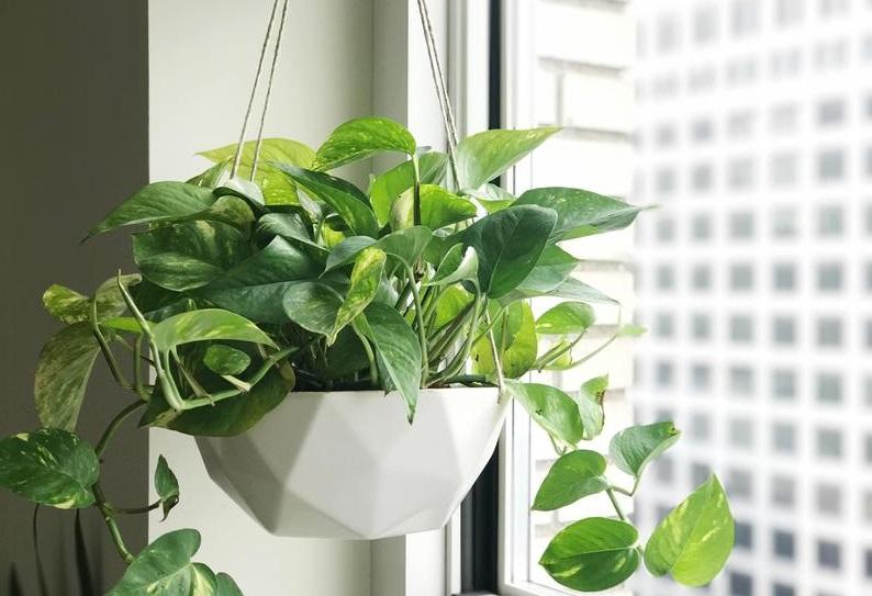 "Tanaman hias indoor Sirih gading ""Pothos plant"""