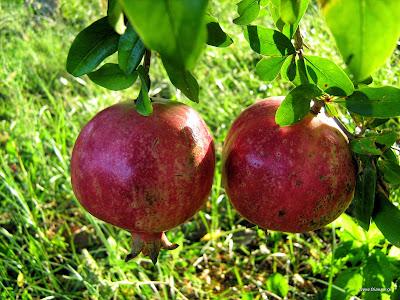 Ροδιά: φύτεμα καλλιέργεια