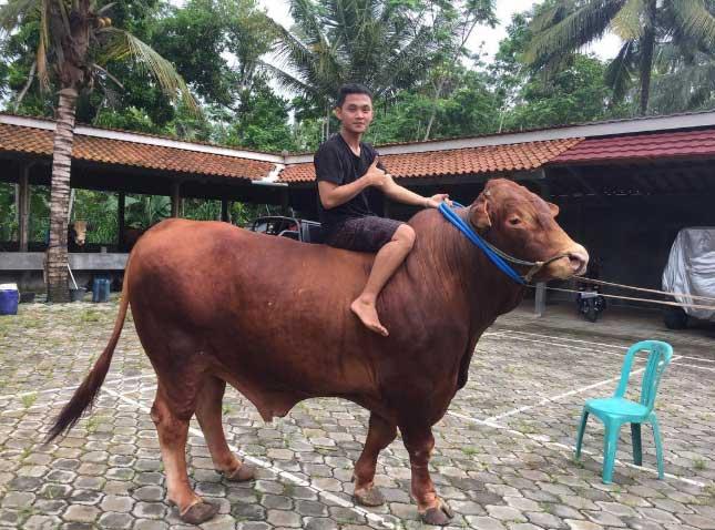 Harga Sapi Limousin 2019
