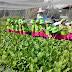 Cung cấp rau sạch TPHCM - Cách trồng cây cải ngọt