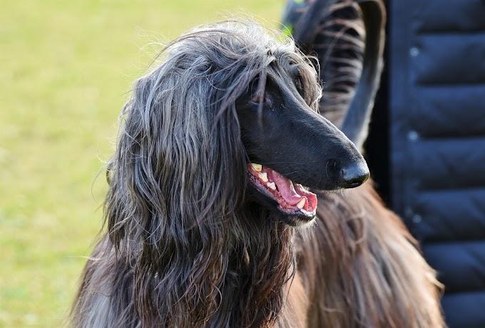 Los perros afganos, los más demandados en publicidad a lo largo del mundo