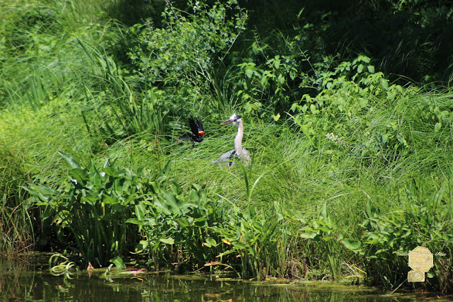 Annoyed - Heron And Red Winged Blackbird 5 Of 10