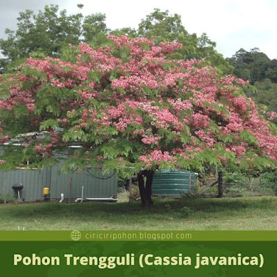 Ciri Ciri Pohon Trengguli (Cassia javanica)