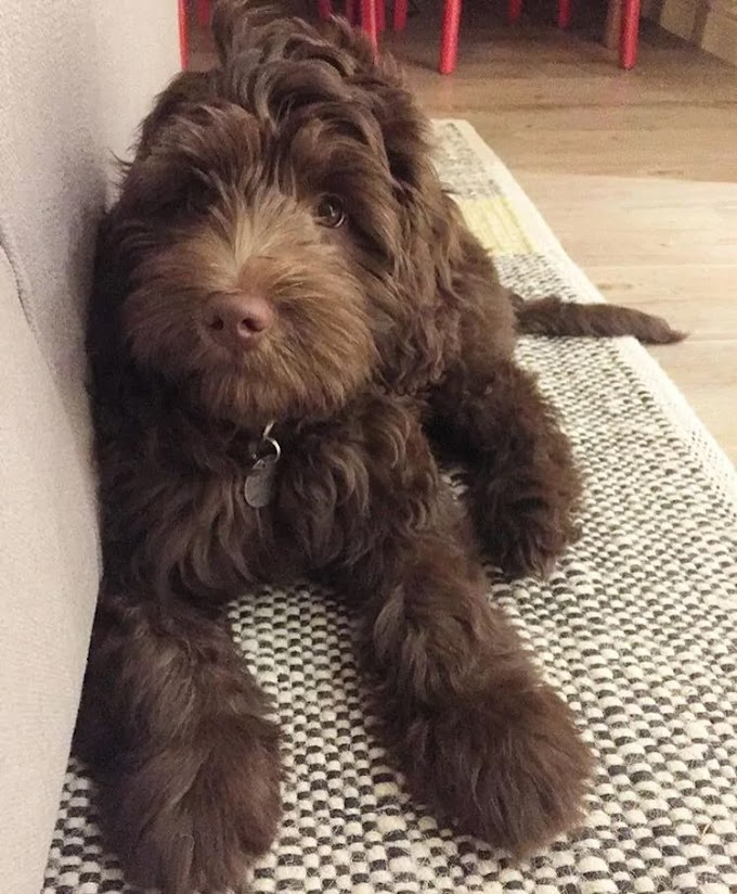 Chocolate Labradoodle Mixed Dog Breed Pictures, Characteristics, & Facts