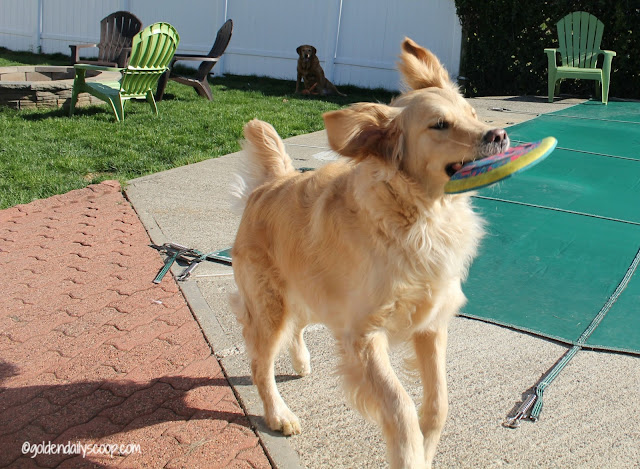 golden-retriever-dog-playing-with-frisbee