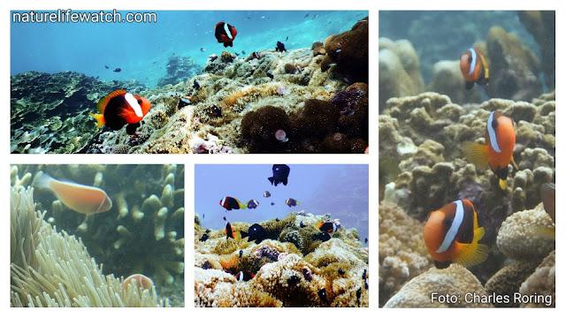 wisata snorkeling di Manokwari, Papua Barat
