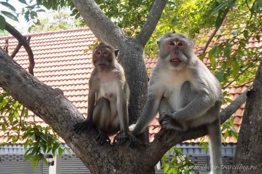 парочка  обезьян