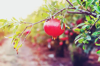 How to grow a pomegranate tree