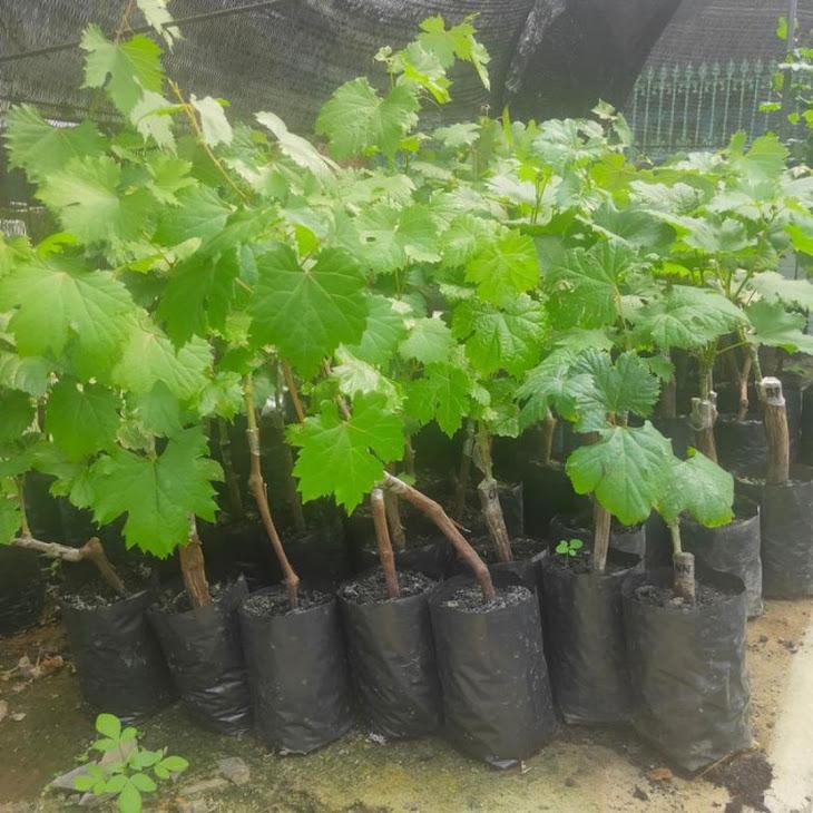 Biit tanaman buah anggur import jupiter seedles bibit anggur stek grafting bibit anggur murah Sulawesi Tenggara