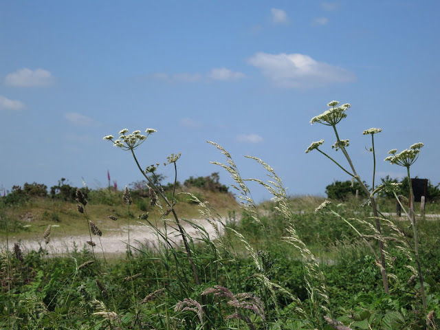 White, umbeliferours flowers, grass, thistle etc. in front of dry white track and blue sky with small clouds.