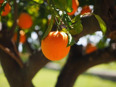 Jasa Tukang taman Surabaya Pohon Buah tidak tinggi buah jeruk