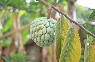 Buah Srikaya