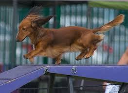 pulos de cães