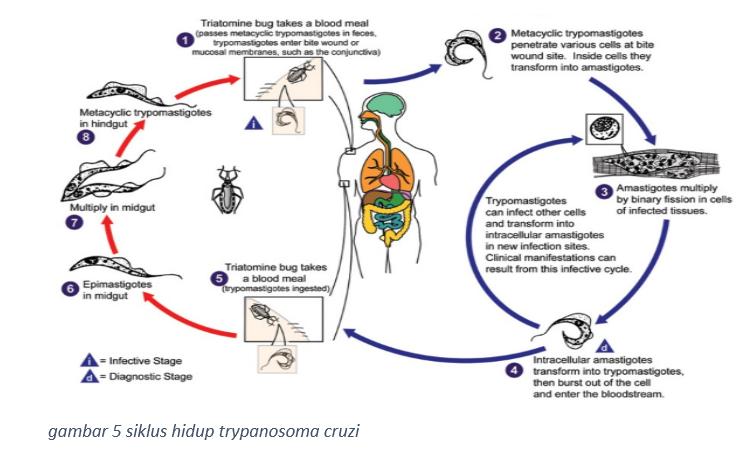 klasifikasi trypanosoma brucei