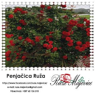 Akrobate u raskošnom svetu ruža ~ Penjačice ~